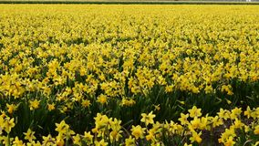 Giacimento di fiore della primavera ai Paesi Bassi video d archivio