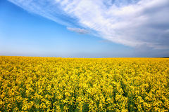 Giacimento di fiore di giallo della molla di estate Fotografie Stock