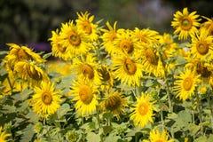 Giacimento di fiore di Sun Immagine Stock Libera da Diritti