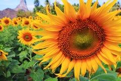 Giacimento di fiore di Sun immagine stock