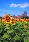 Giacimento di fiore di Sun fotografia stock