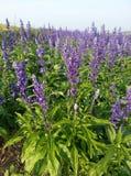 Giacimento di fiore di Violet Angelonia fotografia stock