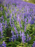 Giacimento di fiore di Violet Angelonia fotografia stock libera da diritti