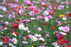 Giacimento di fiore di Galsang nel tramonto Verde, Schang-Hai fotografia stock