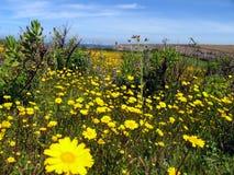 Giacimento di fiore giallo Fotografia Stock
