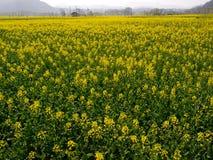 Giacimento di fiore giallo Fotografia Stock Libera da Diritti