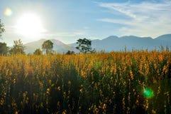 Giacimento di fiore giallo Fotografie Stock Libere da Diritti