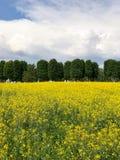Giacimento di fiore giallo con gli alberi ed il fondo verdi del cielo Immagine Stock Libera da Diritti