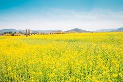 Giacimento di fiore giallo della violenza alla molla in Corea Fotografia Stock