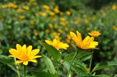 Giacimento di fiore giallo di Coreopsis ai giardini botanici Immagini Stock Libere da Diritti
