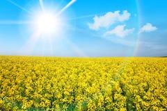 Giacimento di fiore giallo in estate Immagine Stock