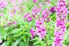Giacimento di fiore porpora del centurione di speronella Fotografia Stock