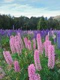 Giacimento di fiore rosa e porpora del lupino Fotografia Stock Libera da Diritti