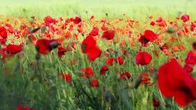 Giacimento di fiore rosso del papavero stock footage
