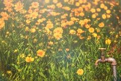 Giacimento di fiore di Rudbeckia con il rubinetto d'annata Fotografie Stock Libere da Diritti