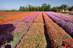 Giacimento di fiore variopinto Fotografia Stock Libera da Diritti