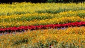 Giacimento di fiore variopinto Fotografia Stock