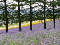 Giacimento di fiore variopinto nel Nord durante l'autunno, Giappone Immagine Stock