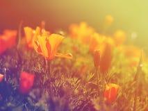 Giacimento di fiori arancio selvaggio del papavero fotografie stock