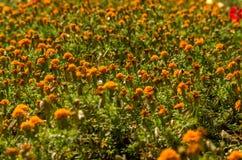 Giacimento di fiori arancione Fotografia Stock Libera da Diritti