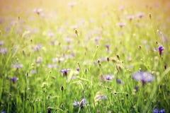 Giacimento di fiori blu del centaury, campagna di estate Immagine Stock