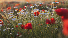 Giacimento di fiori dei poppes e della camomilla al tramonto Fotografie Stock Libere da Diritti
