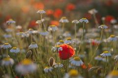 Giacimento di fiori dei poppes e della camomilla al tramonto Immagini Stock