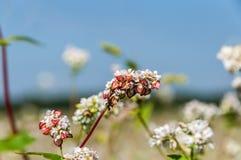 Giacimento di fiori del grano saraceno Immagini Stock Libere da Diritti