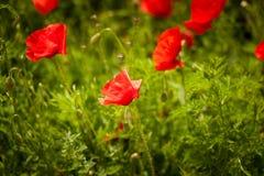 Giacimento di fiori del papavero Fotografia Stock