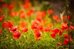 Giacimento di fiori del papavero Immagine Stock