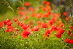 Giacimento di fiori del papavero Fotografie Stock