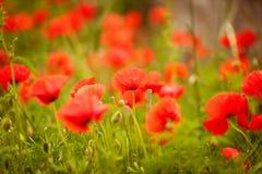 Giacimento di fiori del papavero Fotografie Stock Libere da Diritti