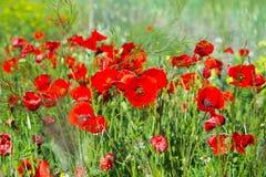 Giacimento di fiori del papavero Immagine Stock Libera da Diritti