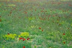 Giacimento di fiori del papavero Immagini Stock