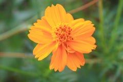 Giacimento di fiori del tagete Fotografia Stock