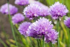 Giacimento di fiori della cipolla Fotografie Stock
