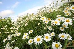 Giacimento di fiori della margherita Fotografie Stock