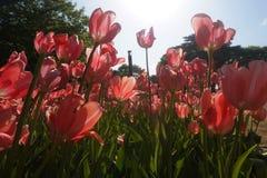 Giacimento di fiori di fioritura dei tulipani Immagine Stock