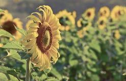 Giacimento di fiori di Sun in Tailandia Fotografia Stock