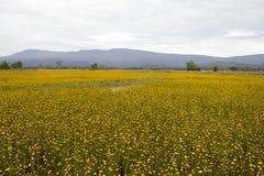 Giacimento di fiori giallo immagine stock