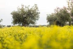 Giacimento di fiori giallo con di olivo sorgente blu del cielo di verde di erba del campo Immagine Stock