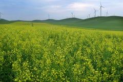Giacimento di fiori giallo della violenza Fotografie Stock Libere da Diritti