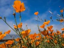 Giacimento di fiori giallo di californica di Eschscholzia Fotografie Stock Libere da Diritti