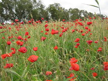 Giacimento di fiori rosso del papavero Immagini Stock Libere da Diritti