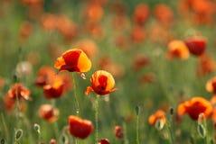 Giacimento di fiori rosso del papavero al tramonto Fotografie Stock Libere da Diritti