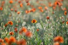 Giacimento di fiori rosso del papavero al tramonto Immagini Stock