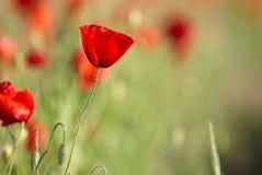 Giacimento di fiori rosso del papavero al tramonto Fotografia Stock