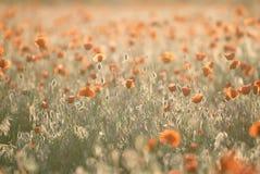 Giacimento di fiori rosso del papavero al tramonto Immagine Stock