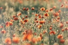 Giacimento di fiori rosso del papavero al tramonto Fotografia Stock Libera da Diritti