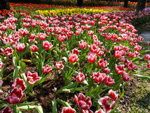 Giacimento di fiori variopinto del tulipano immagine stock libera da diritti